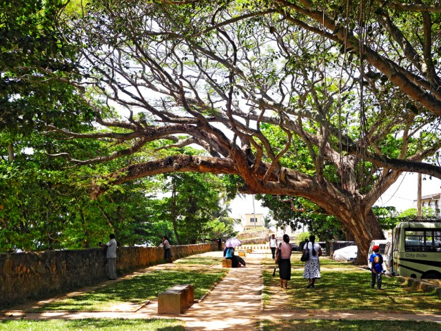 Magnificent Trees in Galle