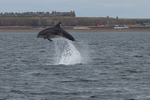 Dolphin in Spey Bay
