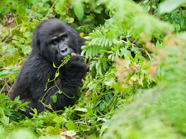 Female Mountain Gorilla Feeding in Natural Habitat