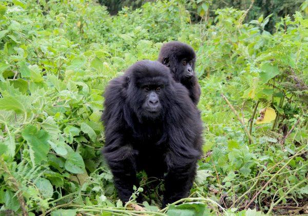 Mountain Gorilla from Sabyinyo Family