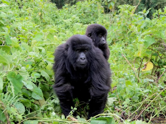 Mountain Gorilla from Sabyinyo Family