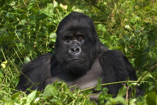 Mountain Gorilla from the Virunga Mountains
