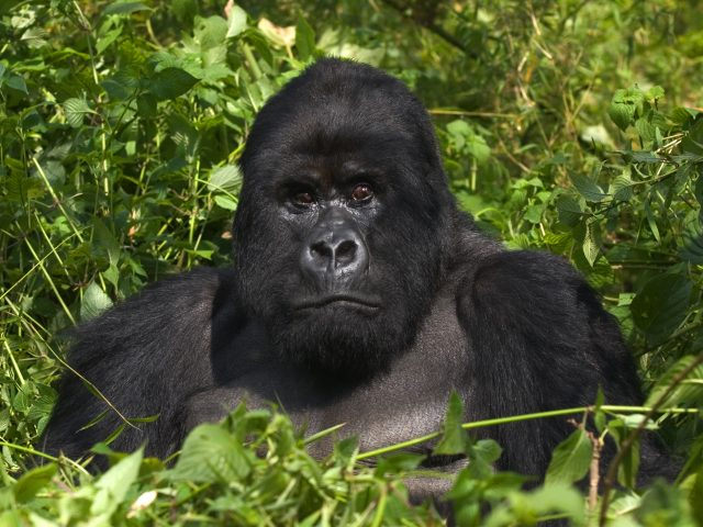 Mountain Gorilla from the Virunga Mountains