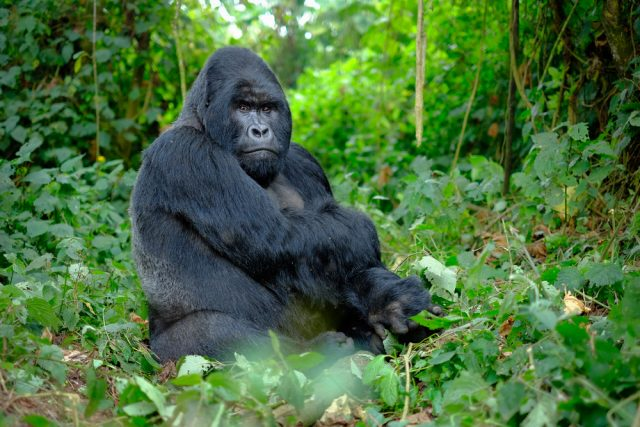 6 Tips for Tracking the Gorillas of Uganda & Rwanda