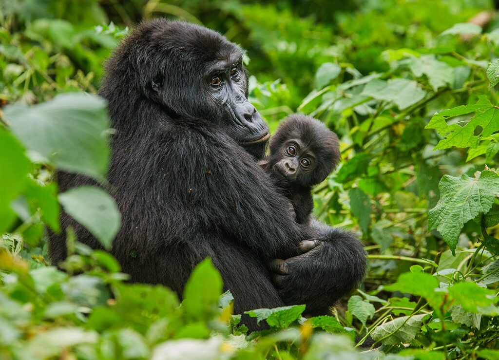 A female mountain gorilla with a baby
