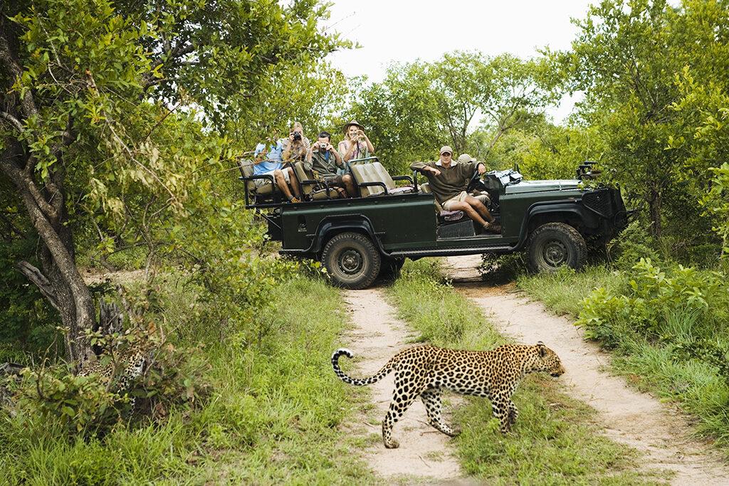 Leopard (Panthera pardus) crossing road