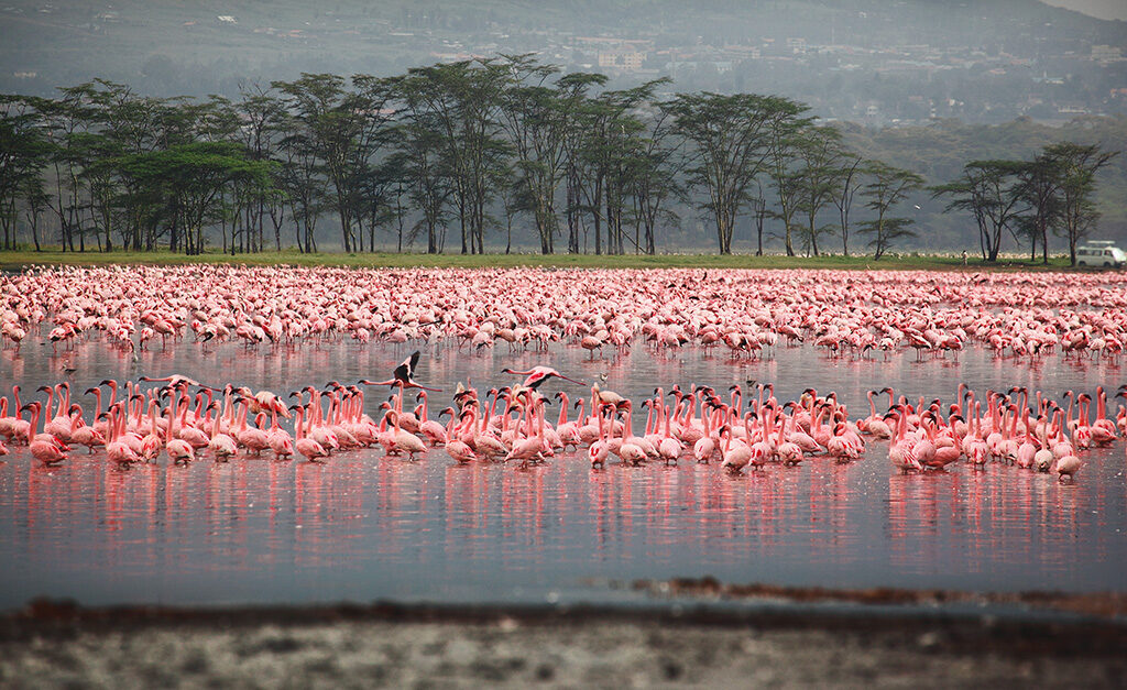 Flocks of flamingo, Lake Nakuru