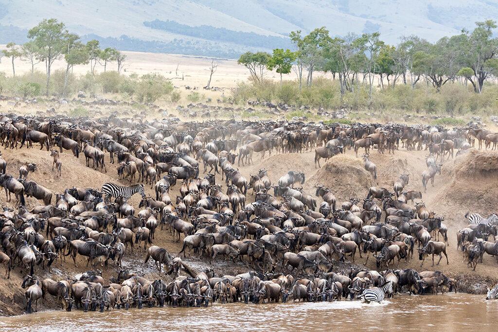 Every year 1.5 million wildebeest make the trek from Tanzania to Kenya