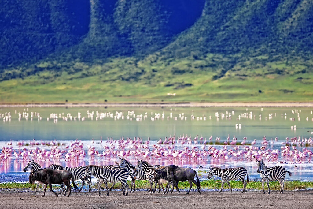 Zebras and wildebeests walking beside the lake in the Ngorongoro Crater, Tanzania