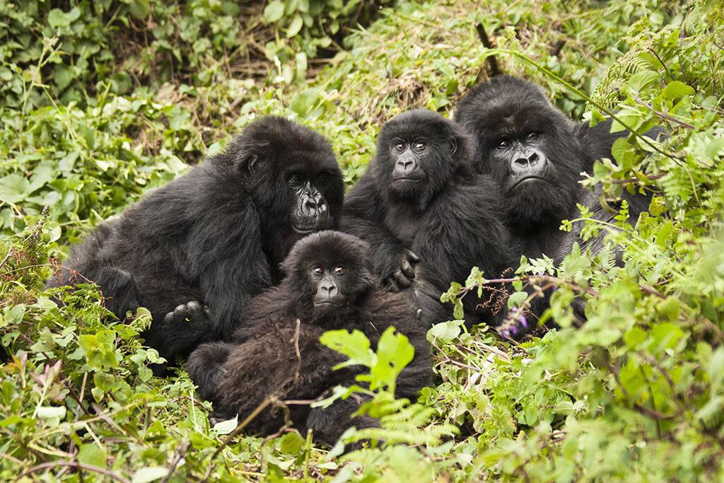 Silverback, female, babies, Volcanoes National Park, Rwanda